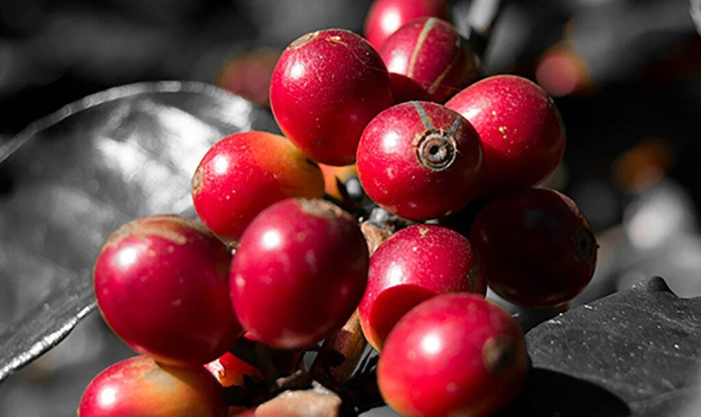 κεράσια-καφέ